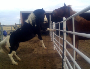 pony draft