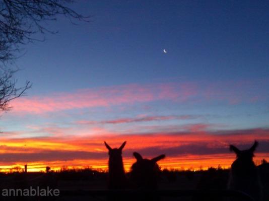 WMLlama sunrise