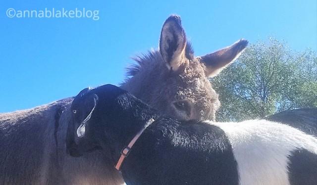 wm-donkey-goat-2