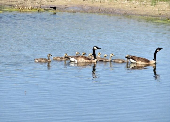 Photo & Poem: Ducks and Geese